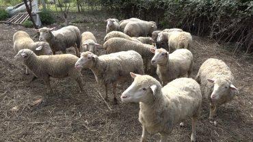 kobaslic ovce_02