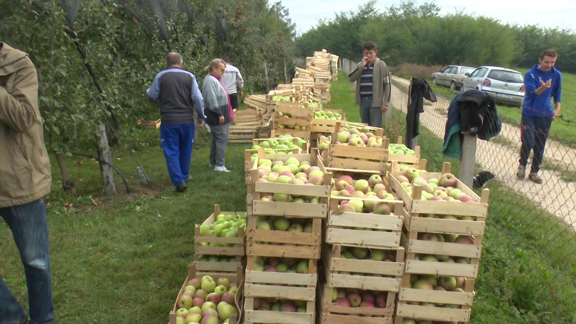 Obrane jabuke u voćnjaku Vehbije Okčića